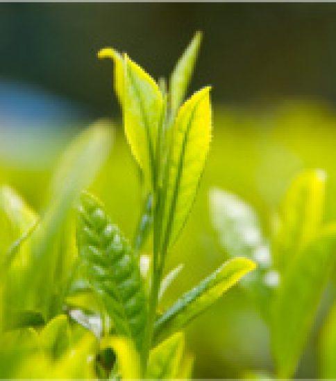 同じチャの樹から、いろいろなお茶が出来る不思議!?